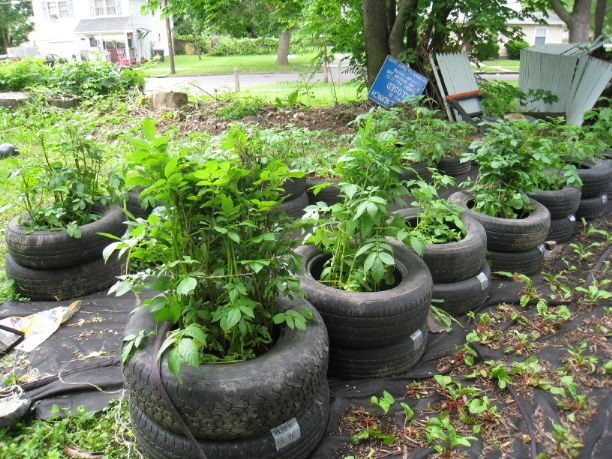 This 2nd Chance garden was accidentally bulldozed by the City last Spring when workers mistook his trademark 'tire tater' planters for an illegal dumping site. Suddenly the name has taken on a whole new meaning.