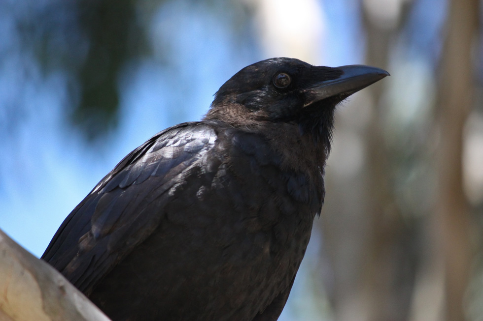 A crow. He don't care 'bout no lasers. [PHOTO: Nick Bradsworth]