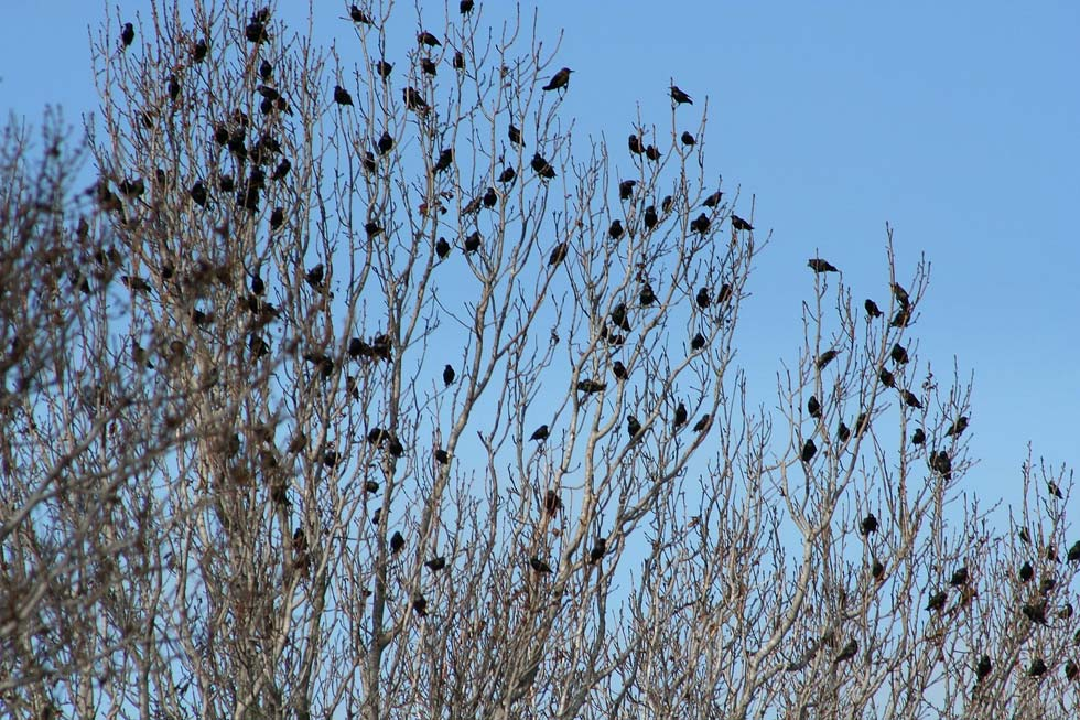 A large roost of crows was spotted last week on the edge of the Genesee River gorge near the Smith Street Bridge. [FILE PHOTO: Terri Heisele]