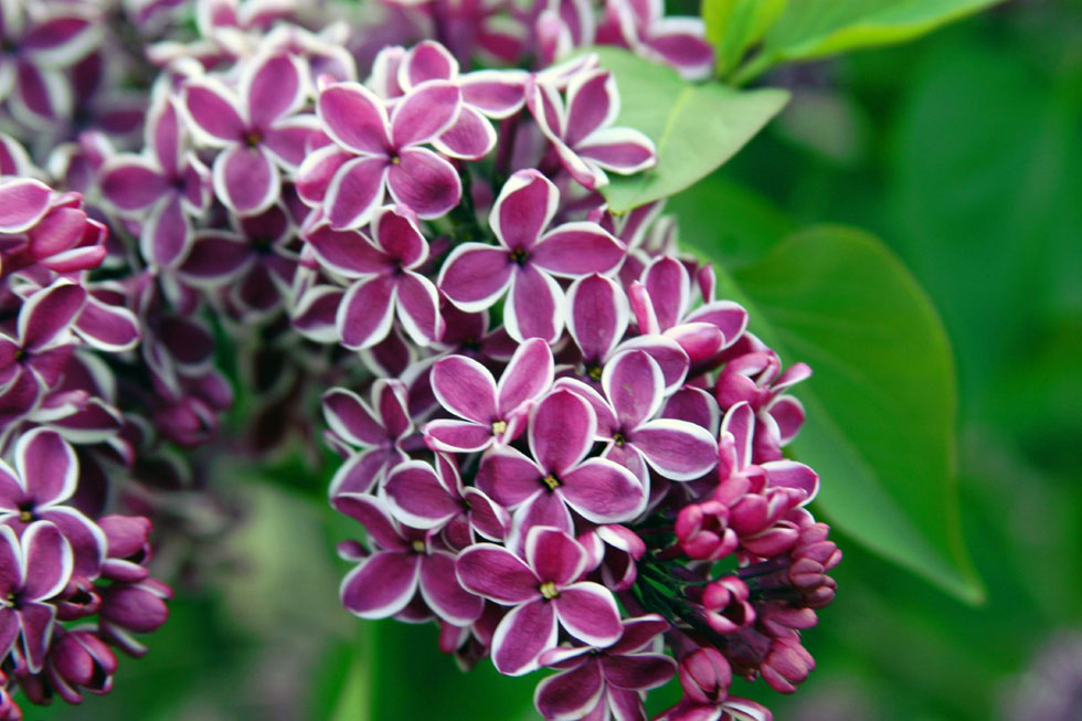 Lilacs in Highland Park, Rochester, NY. [PHOTO: Rich Engelbrecht, via Flickr]