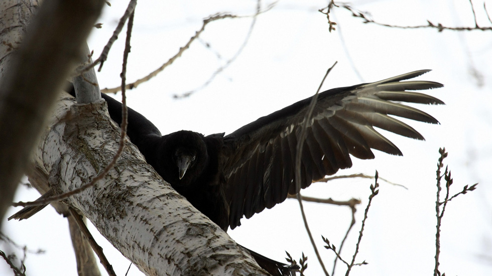 A Black Vulture at Braddock Bay, NY. [PHOTO: Seabamirum, Flickr]