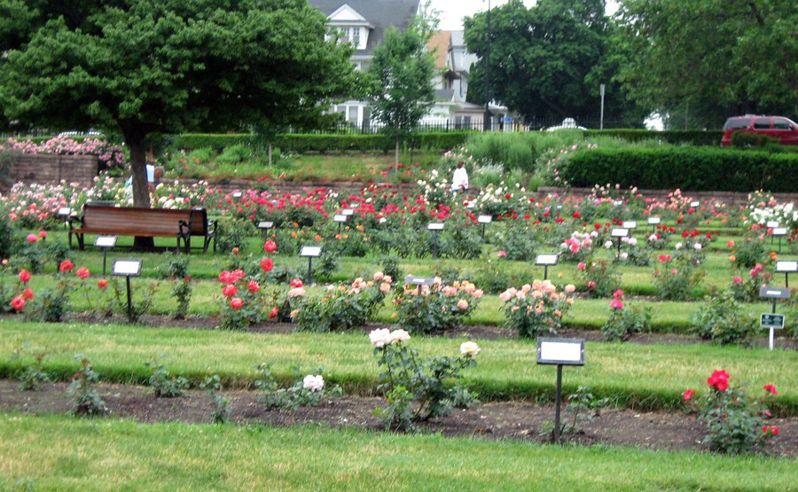 Rose garden at Maplewood Park [IMAGE: Diana Beldeman]