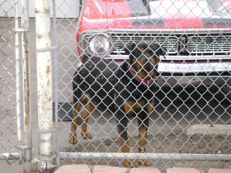 Everyday, dogs like this one are used to guard, watch, or protect businesses such as car dealerships and metal recyclers while the property owners are absent. [PHOTO: Joel Helfrich]