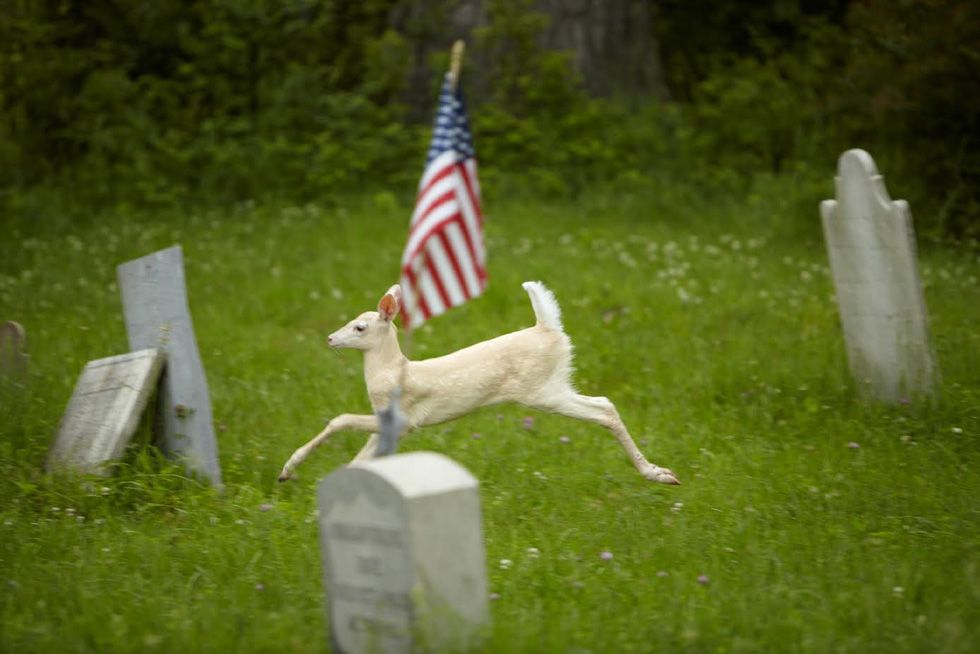 Fawn running through the First Baptist Cemetery, which is located within the Depot. At least three Colonial soldiers are buried there. [IMAGE: Dennis Money]