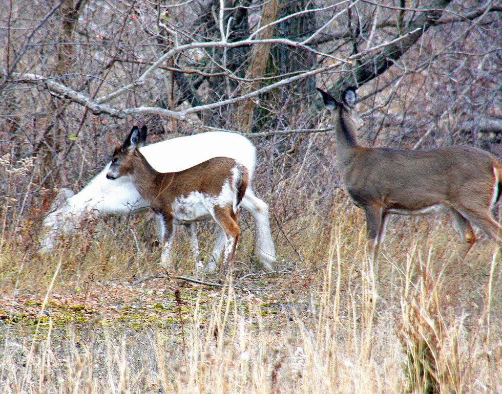 White, brown, and piebald fawn. There are 'not many places on this planet where you would ever see this,' according to Dennis Money. [IMAGE: Dennis Money]